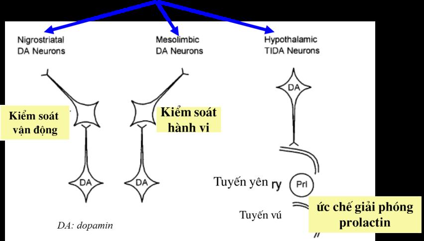 Tác dụng của dịch chiết quả Vitex liên quan tới 3 cơ chế tác động chính sau: 1