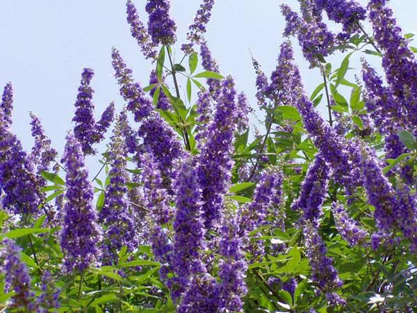 Chasteberry (Vitex Agnus-Castus) tác dụng như thế nào? 1