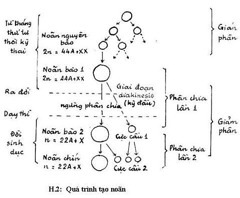 Quá trình hình thành trứng 1