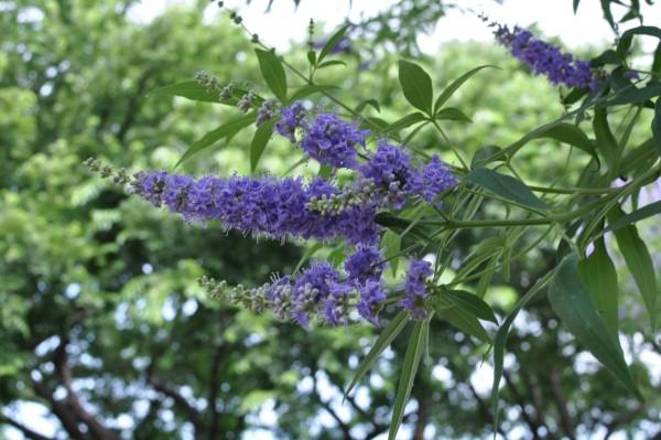 Chasteberry - Cây thảo dược dành cho phụ nữ 1