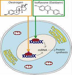 Hình 1: Isoflavone có cấu trúc tương tự estrogen nên có khả năng gắn với các thụ thể estrogen và phát huy tác dụng