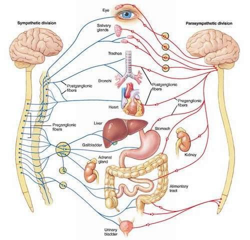 Sơ đồ chi phối các cơ quan của hệ thần kinh thực vật.